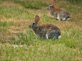 rabbits | Nantucket, MA