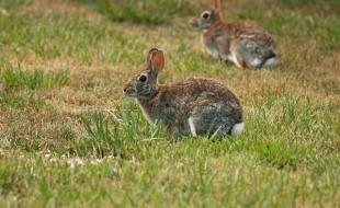 rabbits | Nantucket, MA
