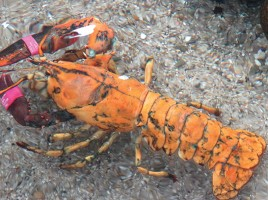 Name that Lobster | Maria Mitchell Association | Nantucket | MA