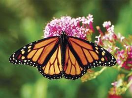 Monarch Butterfly | Nantucket | MA