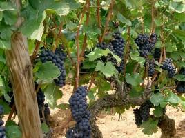 """""""Pinot noir - Bourgogne (Santenay)"""" by PRA - Own work. Licensed under Creative Commons Attribution-Share Alike 3.0 via Wikimedia Commons - http://commons.wikimedia.org/wiki/File:Pinot_noir_-_Bourgogne_(Santenay).JPG#mediaviewer/File:Pinot_noir_-_Bourgogne_(Santenay).JPG"""