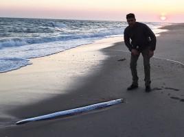 Giant Oarfish on Nantucket