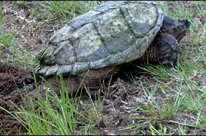 Snapping Turtle Nantucket