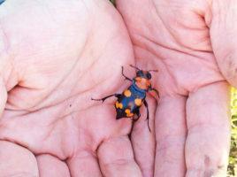 American Burying Beetle | Nantucket, MA