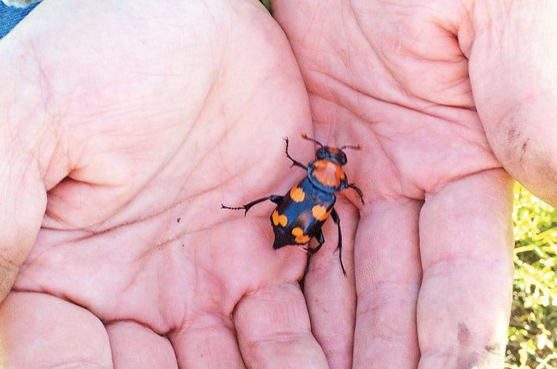 What Is This American Burying Beetle Yesterdays Island