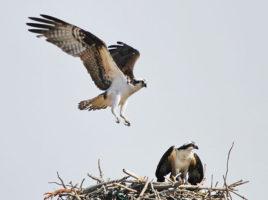 Nantucket Spring - Osprey nesting