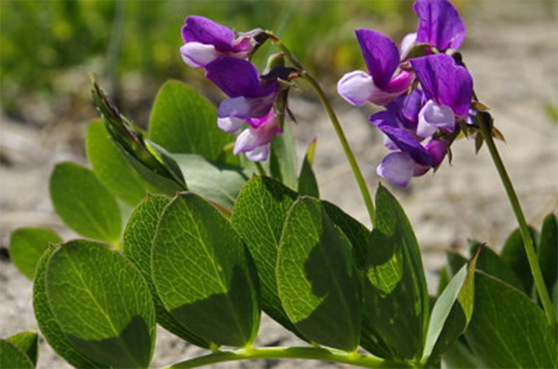 Wildflowers on Nantucket