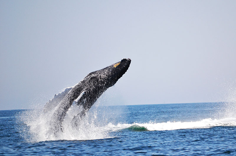 Whales   Photo by Mike Shuster