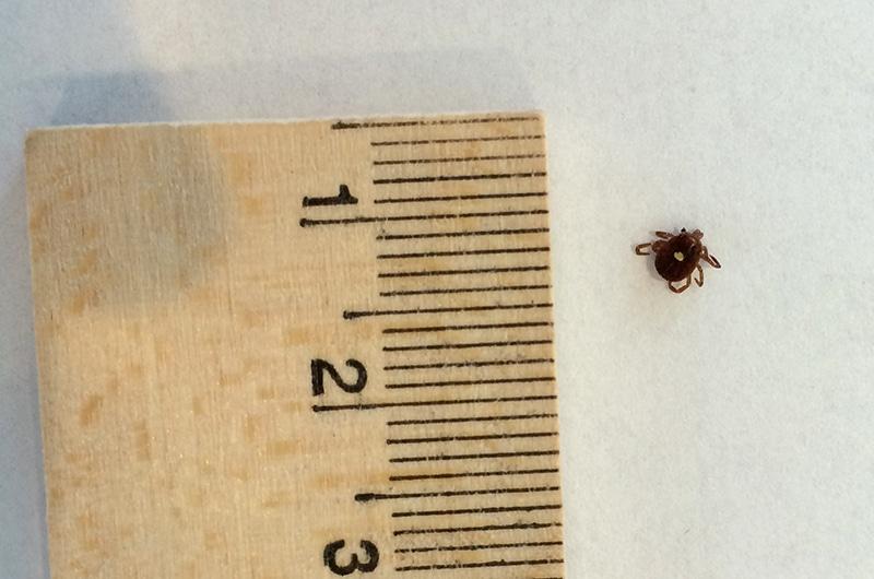Ticks on Nantucket