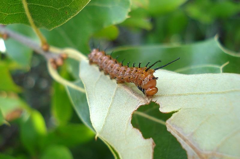Spiny Oakworm Caterpillar