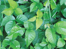 Poison Ivy, Nantucket