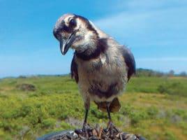 Blue Jay on Nantucket Island