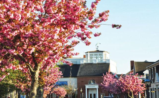 Cheery Tree   Nantucket, MA
