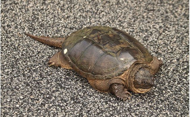 Snapping Turtle   Nantucket, MA