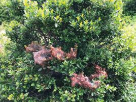 Fall webworm | Nantucket, MA