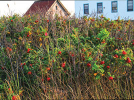 rosehips | Nantucket, MA