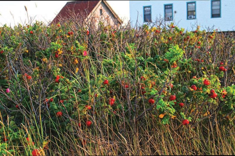 rosehips   Nantucket, MA