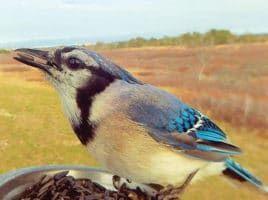 Blue jay | Nantucket, MA