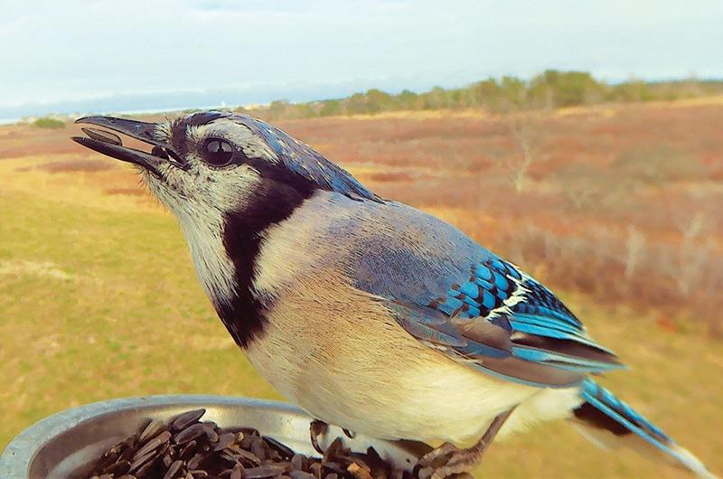Blue jay   Nantucket, MA