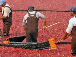 Cranberry Harvest | Nantucket, MA