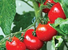 tomatoes | Nantucket, MA