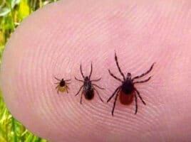 ticks | Nantucket, MA