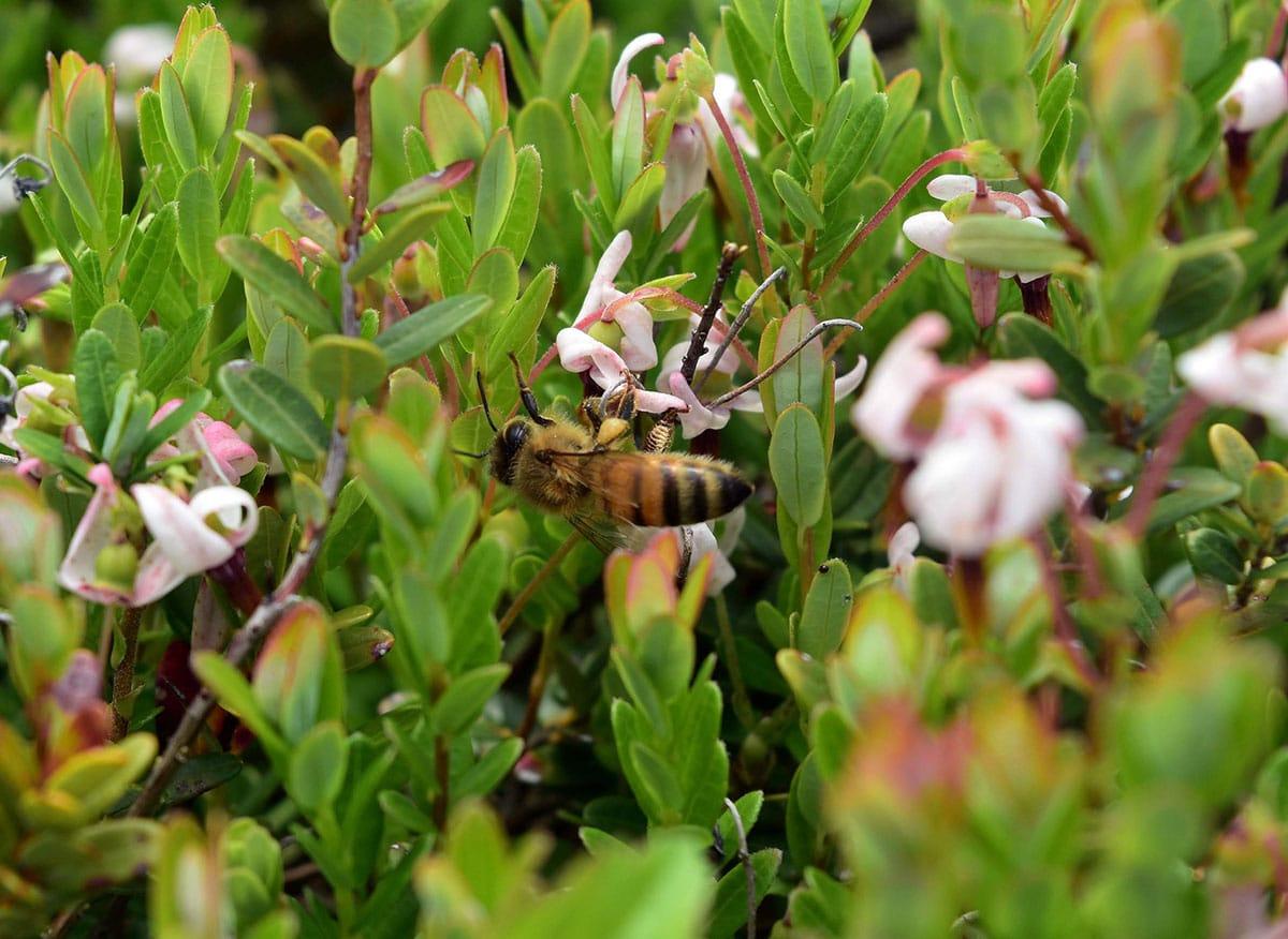 Protecting the Island's Pollinators