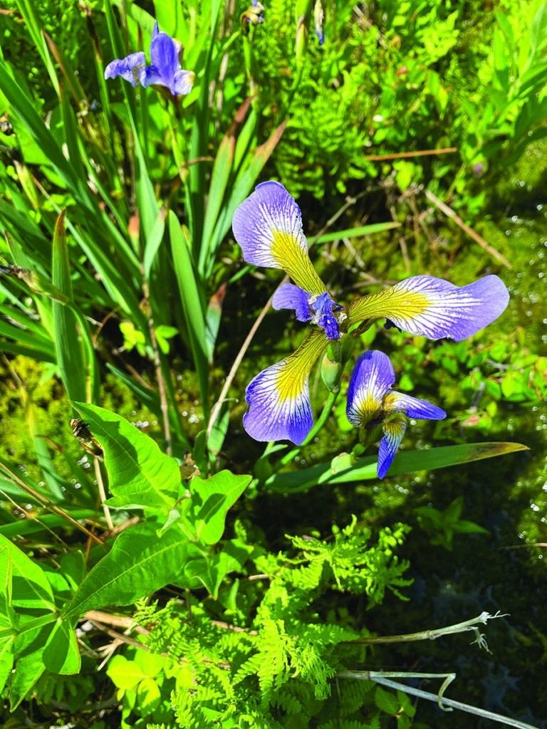 Iris Blue Flag by Sarah T. Bois